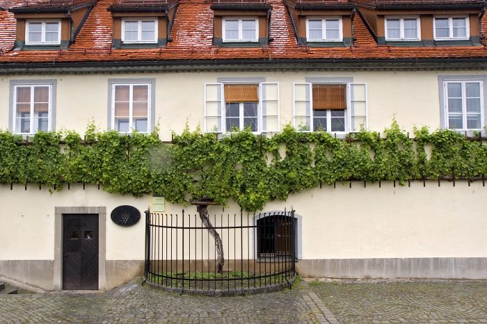 Ancient Ptuj and wine Maribor with oldest vine in the world
