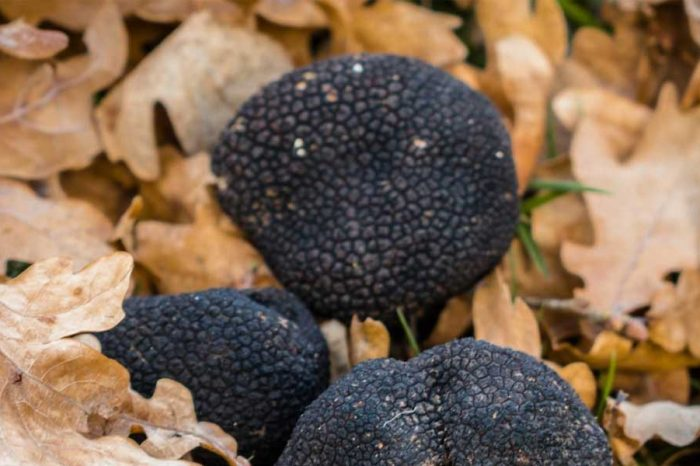 Exclusive: Truffle Hunting with professional hunter